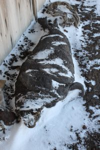 Mummified Seal in front of Scott's Hut